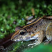 Fitzinger's Robber Frog (Craugastor fitzingeri)