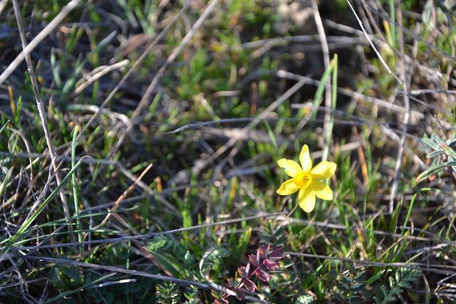 Narcissus assoanus - narcisse d'Asso 33107919190_9333140038_z