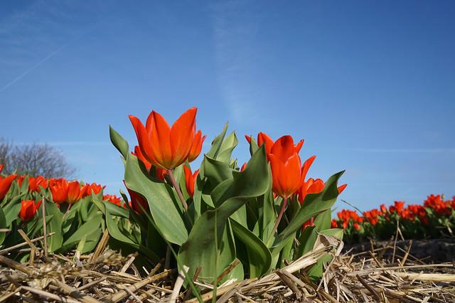 tiptoe through the tulips..