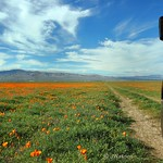 24. Märts 2017 - 16:44 - This is truly a scenic drive in West Antelope Valley, California.  At least right now when the California Poppies are in bloom.