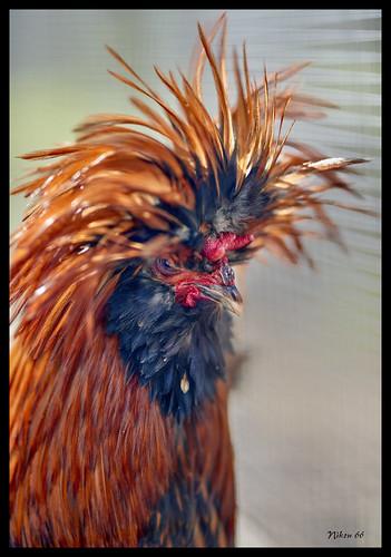 polishchicken chicken wordbirdsanctuary stlouis missouri nikon d800 85mmsigmaartlens