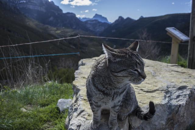 Gato Pirenaico!