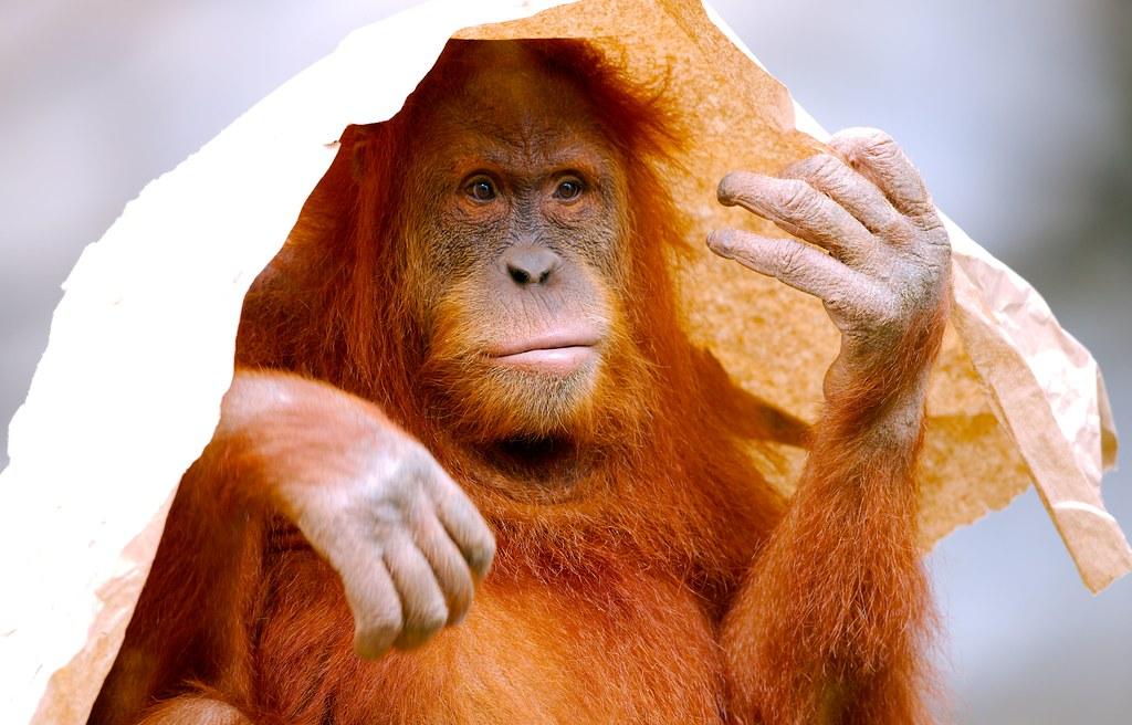 Orangutan_6