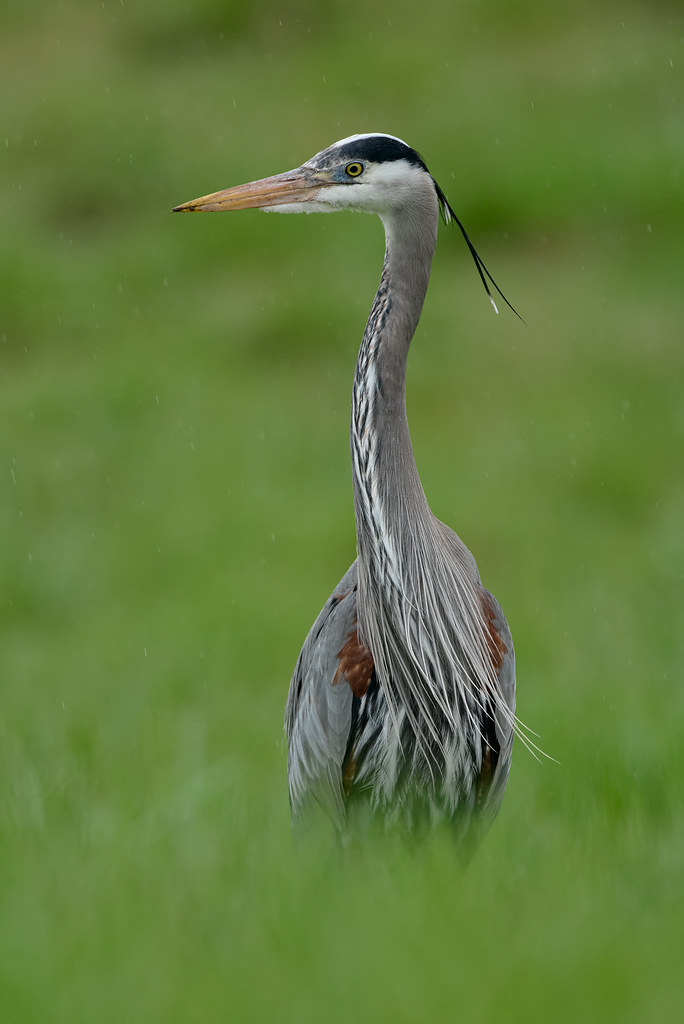A great blue heron stands in a meadow in the pouring rain