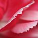 Carnation #5