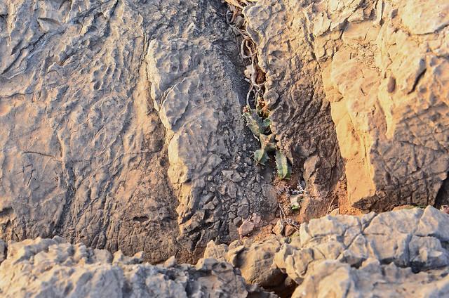Chumberillo camuflado entre las rocas