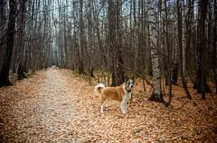 собака цвета осени
