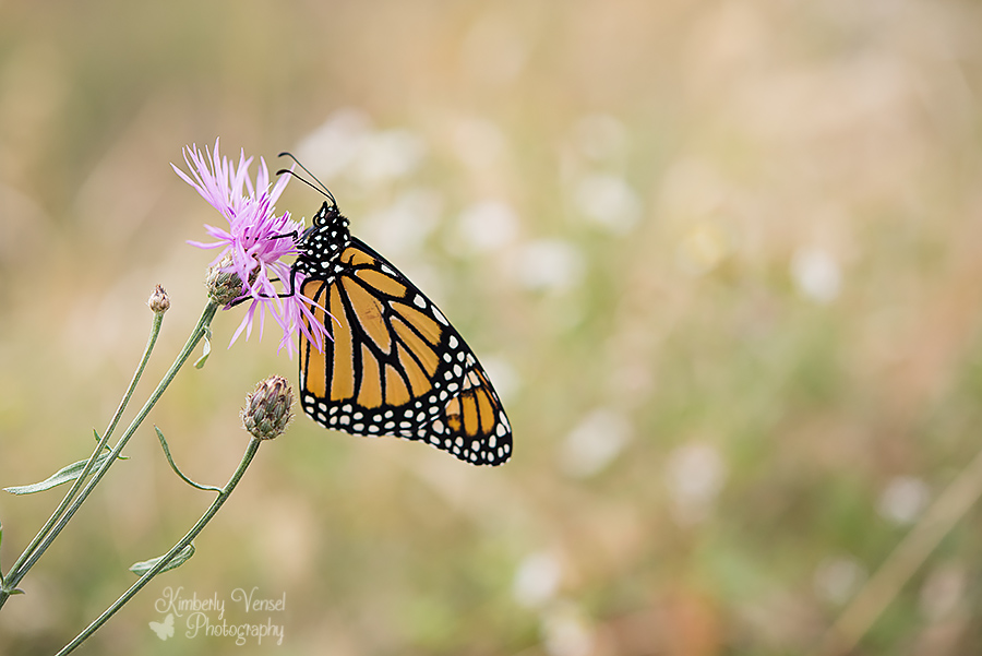 Monarch butterfly #170