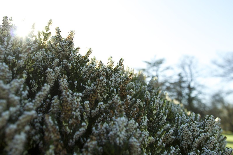 © Amie Whiting_2014_Winter Morning Heather Garden_09