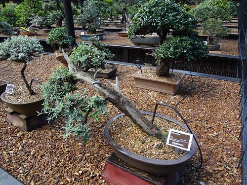 Buddleja saligna (False olive) bonsai, height 33 cm width 57 cm.  Styled by Louis Nel, leaning trunk style