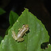 Small photo of Scinax cf. ruber