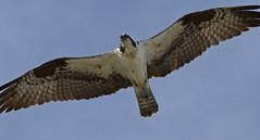 harrier(1.0), animal(1.0), hawk(1.0), bird of prey(1.0), falcon(1.0), eagle(1.0), wing(1.0), fauna(1.0), buzzard(1.0), bald eagle(1.0), accipitriformes(1.0), kite(1.0), beak(1.0), bird(1.0), flight(1.0),