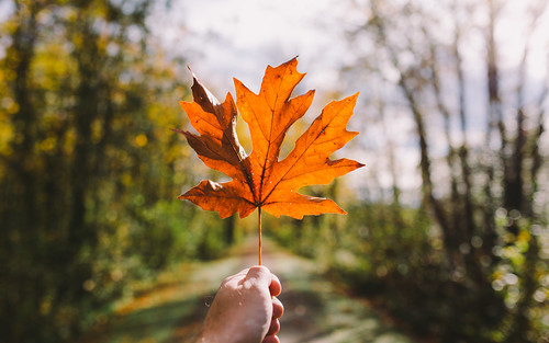 autumn leaf depthoffield bokeh nature pacificnorthwest canoneos5dmarkiii sigma35mmf14dghsmart path trail seasonal autumncolors fallcolors johnwestrock washington