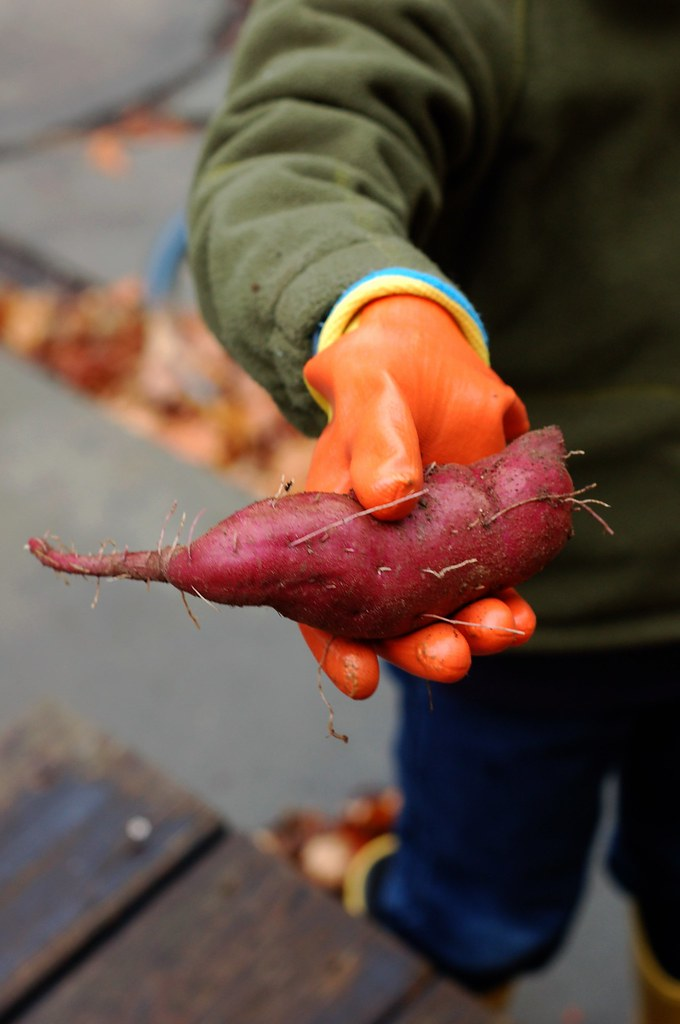 Will holding a just-harvested sweet potato from the garden by Eve Fox, The Garden of Eating, copyright 2014