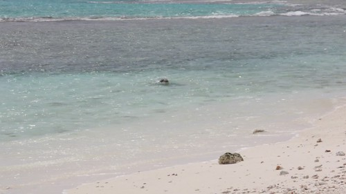 Monk Seal in the Waves
