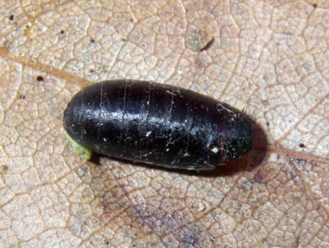 Exorista larvarum 15413122310_795f5a0e0c_o