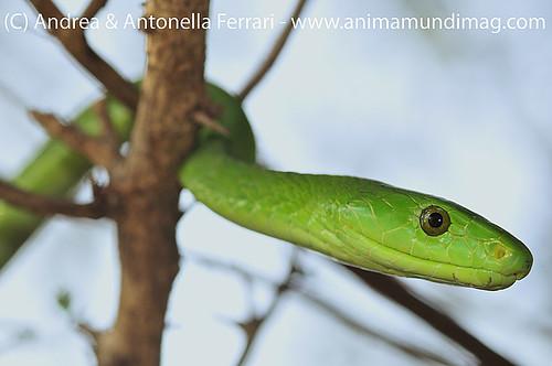 reefwondersdotnet posted a photo:Green Mamba (Dendroaspis angusticeps), KwaZulu-Natal, South Africa