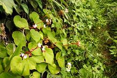 蘭嶼秋海棠。攝影:張德斌