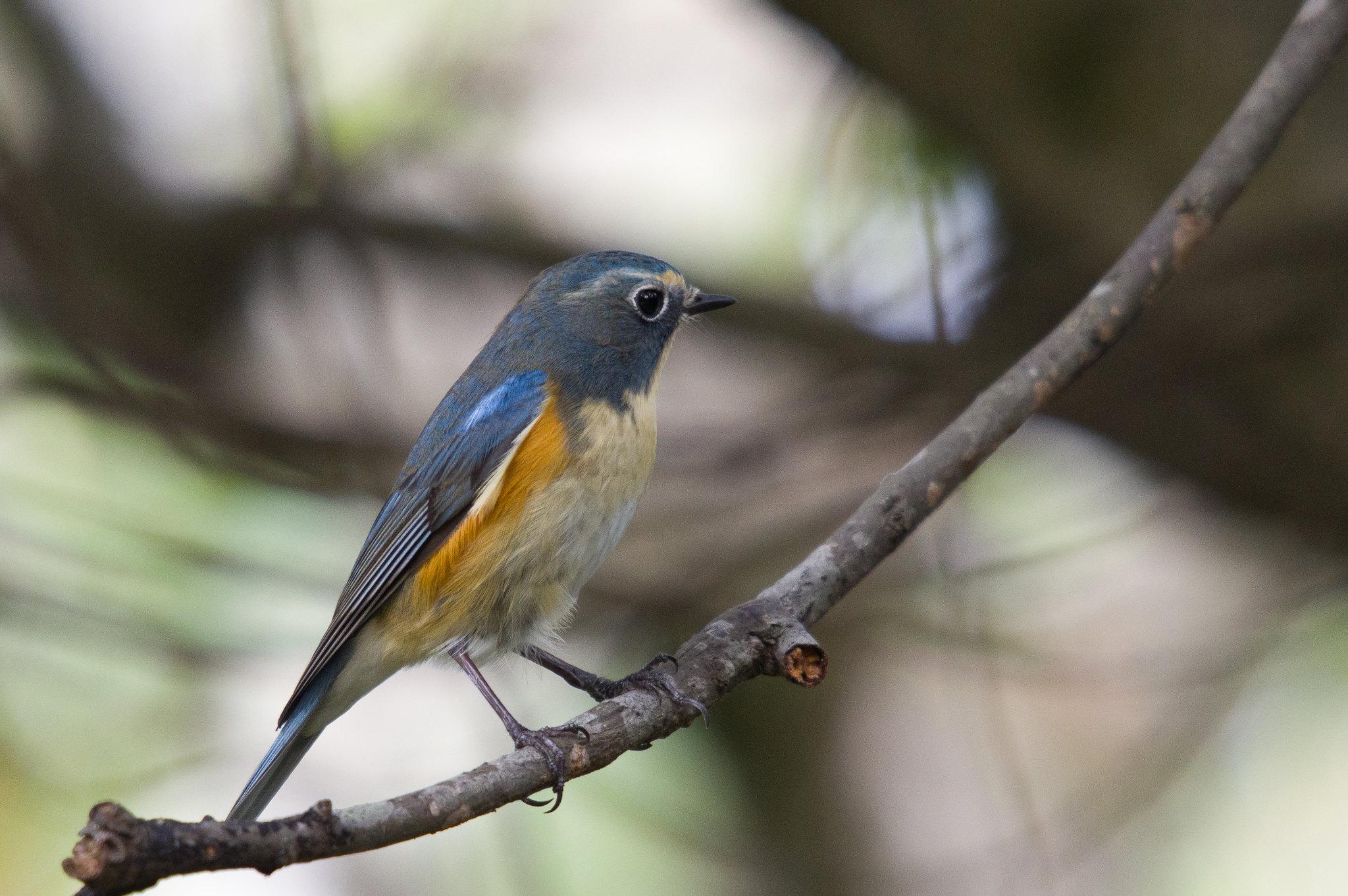 藍尾鴝枯枝正側面