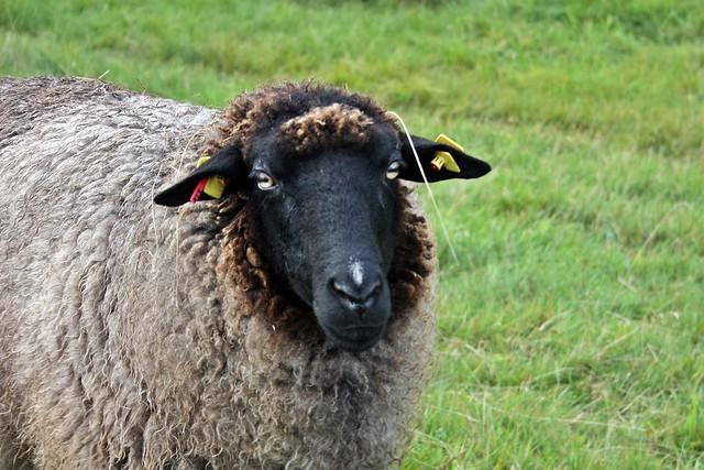 Schaf auf Hiddensee