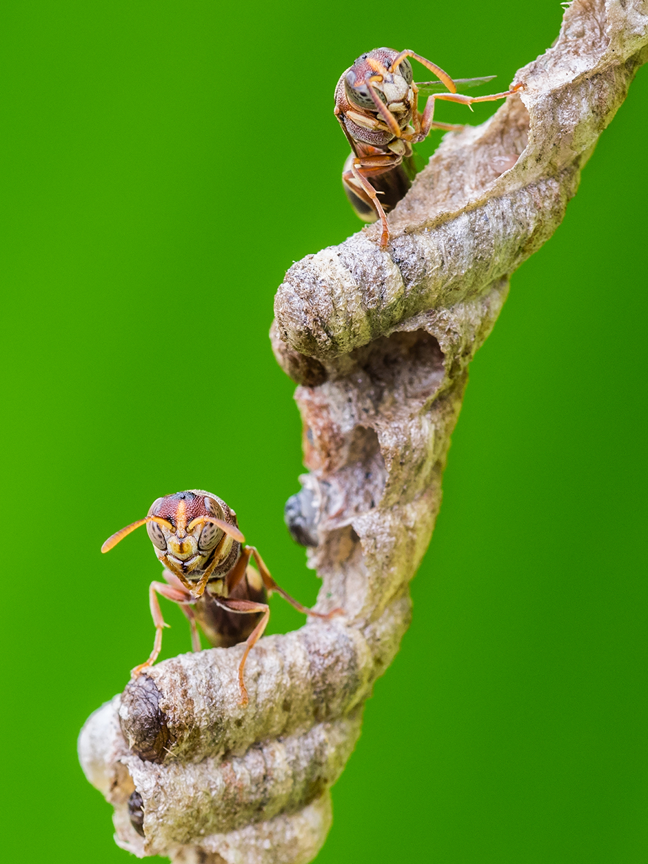 Solitary Wasps