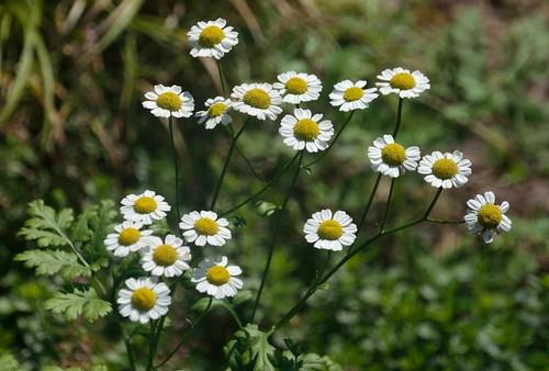 virginia nikon va roanokeva yabbadabbadoo vwcc whiteandyellowflowers quantumentanglement tamron18270 nikontamron d5100 nikond5100 vwcccommunityarboretum tamron18270f3563diiivcpzdlen