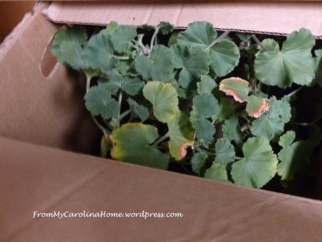 Geraniums packed up