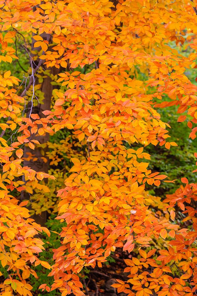 Golden leaves [Flickr]