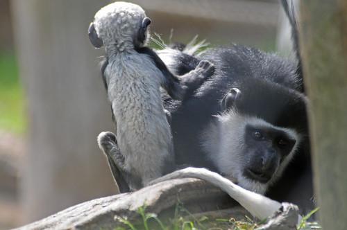 Mantelaffen im Zoo de La Flèche