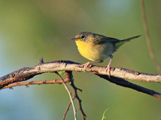 Common Yellowthroat female 20141107