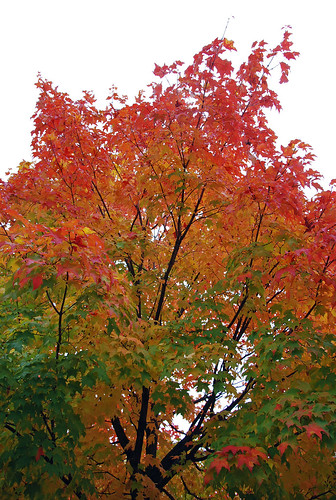 Canadian maple tree in fall display