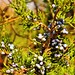 Small photo of Juniper Berries - Todd Farm, Allegan County, MI