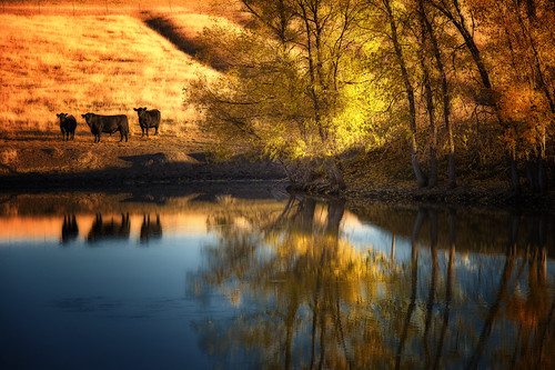 autumn reflection fall water pond nikon cattle angus foliage northdakota prairie nikkor greatplains d4 7020028 crazygeniuses