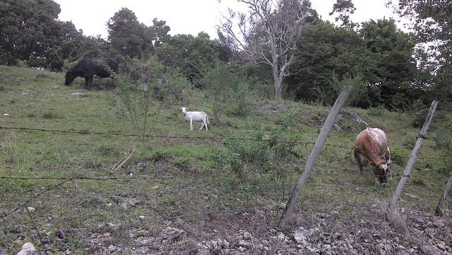 Oh hai goat.