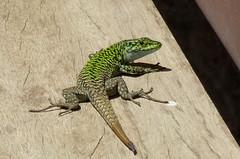 agama(0.0), animal(1.0), reptile(1.0), lizard(1.0), fauna(1.0), scaled reptile(1.0),