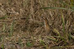 wetland(0.0), snake(0.0), reptile(0.0), snipe(0.0), animal(1.0), prairie(1.0), grass(1.0), fauna(1.0), bittern(1.0), bird(1.0), wildlife(1.0),