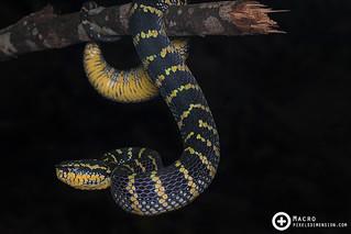 Wagler's Pit Viper- Tropidolaemus wagleri ♀