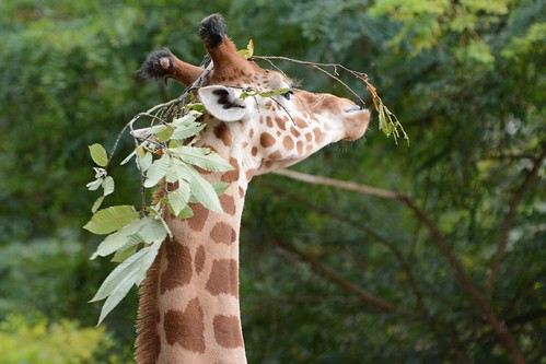Kordofangiraffe June im Zoo de La Flèche
