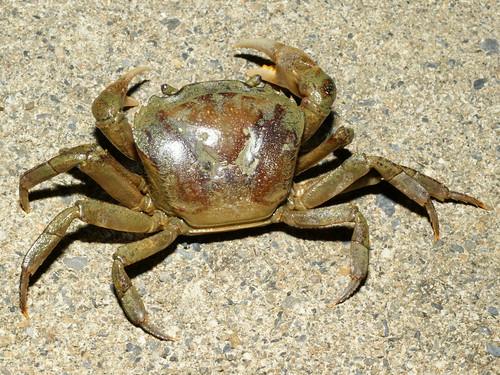 哲氏暹邏蟹(Sayamia germaini),是近年來在西南台灣低海拔一帶所發現的大型外來種淡水蟹,原產於越南,目前在台灣的族群有逐漸擴大的趨勢。(圖片攝影:施習德)