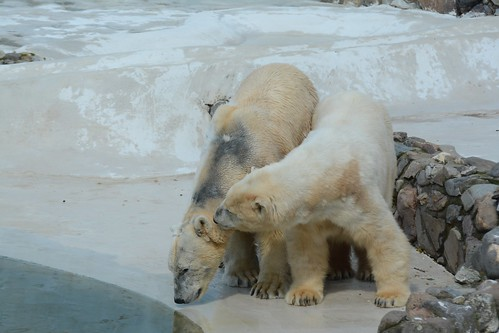 Eisbären Rocky und Blanche in der Monde Sauvage Aywaille