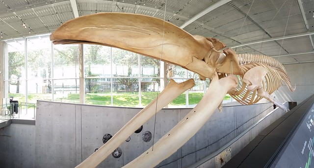 Blue Whale.  Beaty Biodiversity Museum, Vancouver.