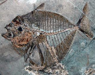 Mene rhombea (fossil fish) (Middle Eocene; Italy) 2
