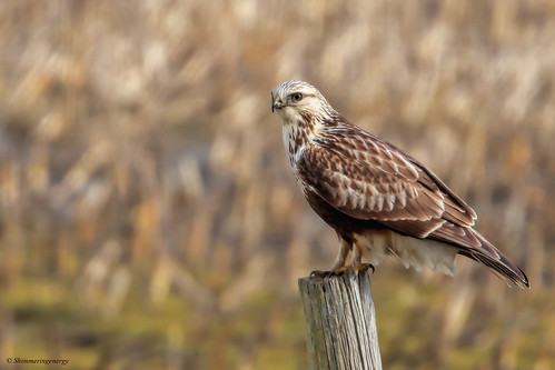 Rough-legged Hawk | Buse pattue