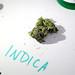 CMS:  Is Marijuana The Holy Grail Of Good Health? by WNPR - Connecticut Public Radio