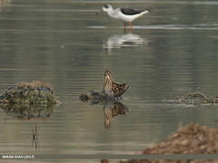 Common Snipe (Gallinago gallinago) & Black-winged Stilt (Himantopus himantopus)