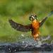 Kingfisher by Paul Tymon