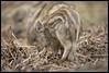 Wild boar Humbugs, Forest of Dean 2017