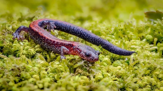 Eastern Red-backed Salamander Plethodon, Nikon D4S, AF Micro-Nikkor 200mm f/4D IF-ED