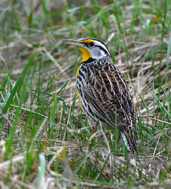 Eastern Meadowlark (Explore), Nikon D500, AF-S Nikkor 500mm f/4D IF-ED II