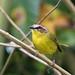 Basileuterus rufifrons (Rufous-capped Warbler)